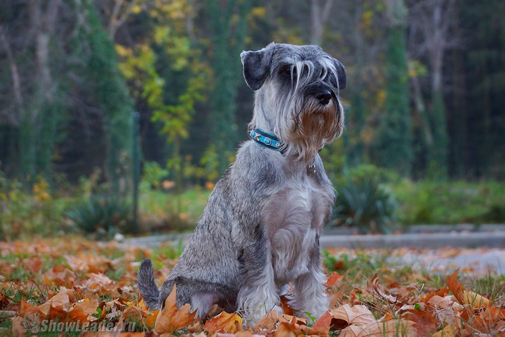 26 октября - 3 ноября Болгария, Плевен - Чехия, Прага 4xCACIB /  / ShowLeader (Шоулидер) - поездки с собаками на выставки