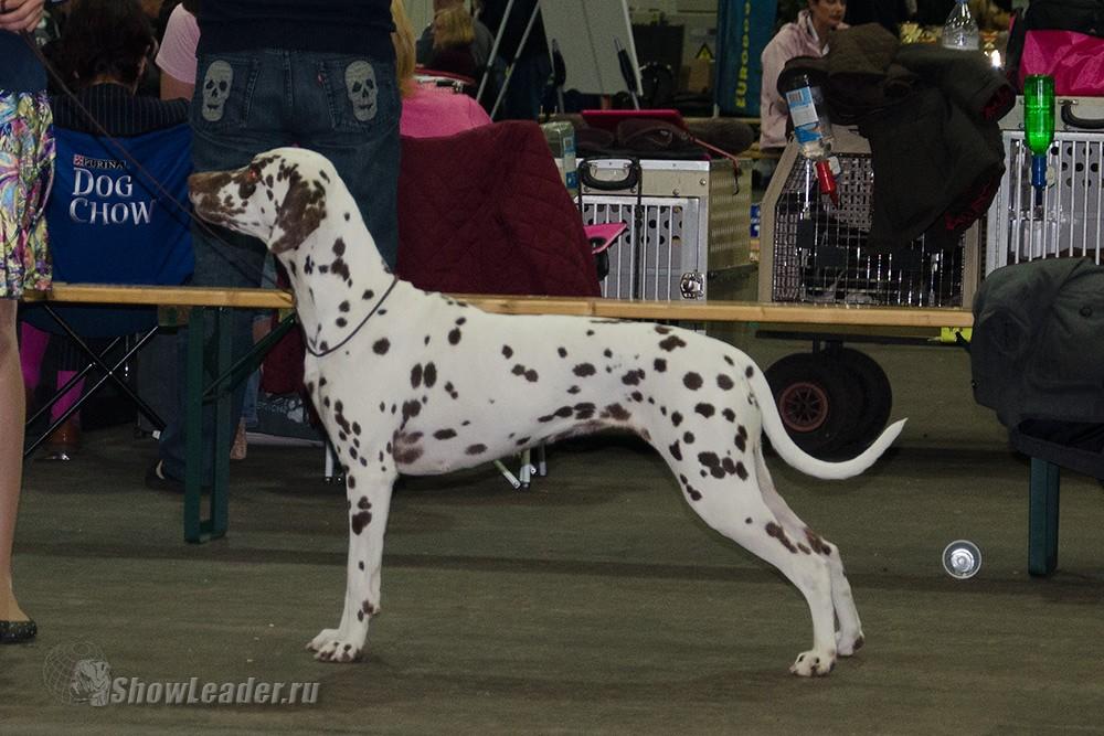 Heppi Sembo Koritsa - Бельгия, Кортрейк 2xCACIB 50th EURODOGSHOW/ ShowLeader (Шоулидер) - поездки с собаками на выставки
