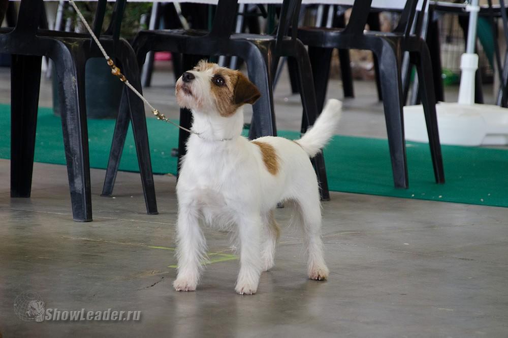 Moya Britaniya Perl Bella More- Бельгия, Кортрейк 2xCACIB 50th EURODOGSHOW/ ShowLeader (Шоулидер) - поездки с собаками на выставки