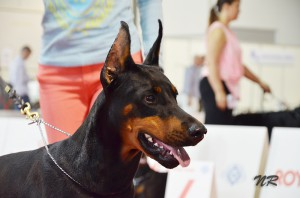Доберманы на World Dog Show 2015 в Милане